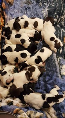 mesa sept 1 puppies