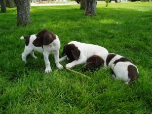 6-week-old-pups1-300x224