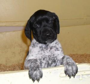 crop-male-puppy-300x280